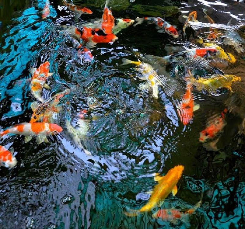 Bể bạt nuôi cá PVC