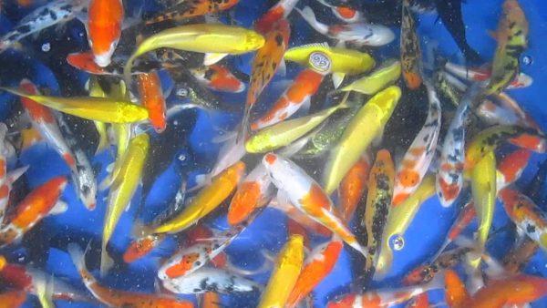 Bể bạt PVC nuôi cá Koi
